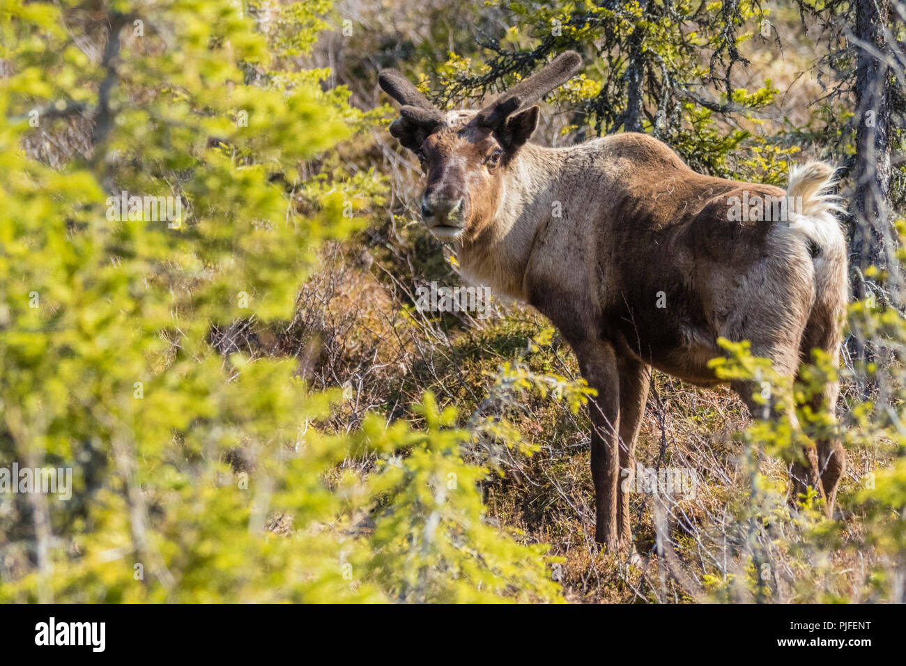 Reindeer, Rangifer tarandus standing and looking in to the camera, Gällivare county, Swedish Lapland, Sweden - Stock Image