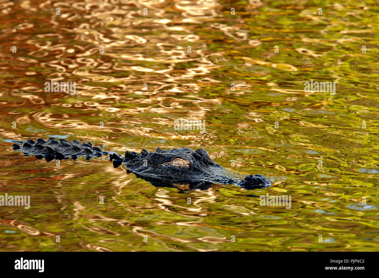 An American alligator with a golden eye floats on the surface of colorful shiny water reflecting mangroves and plants in the Everglades in Florida. - Stock Image