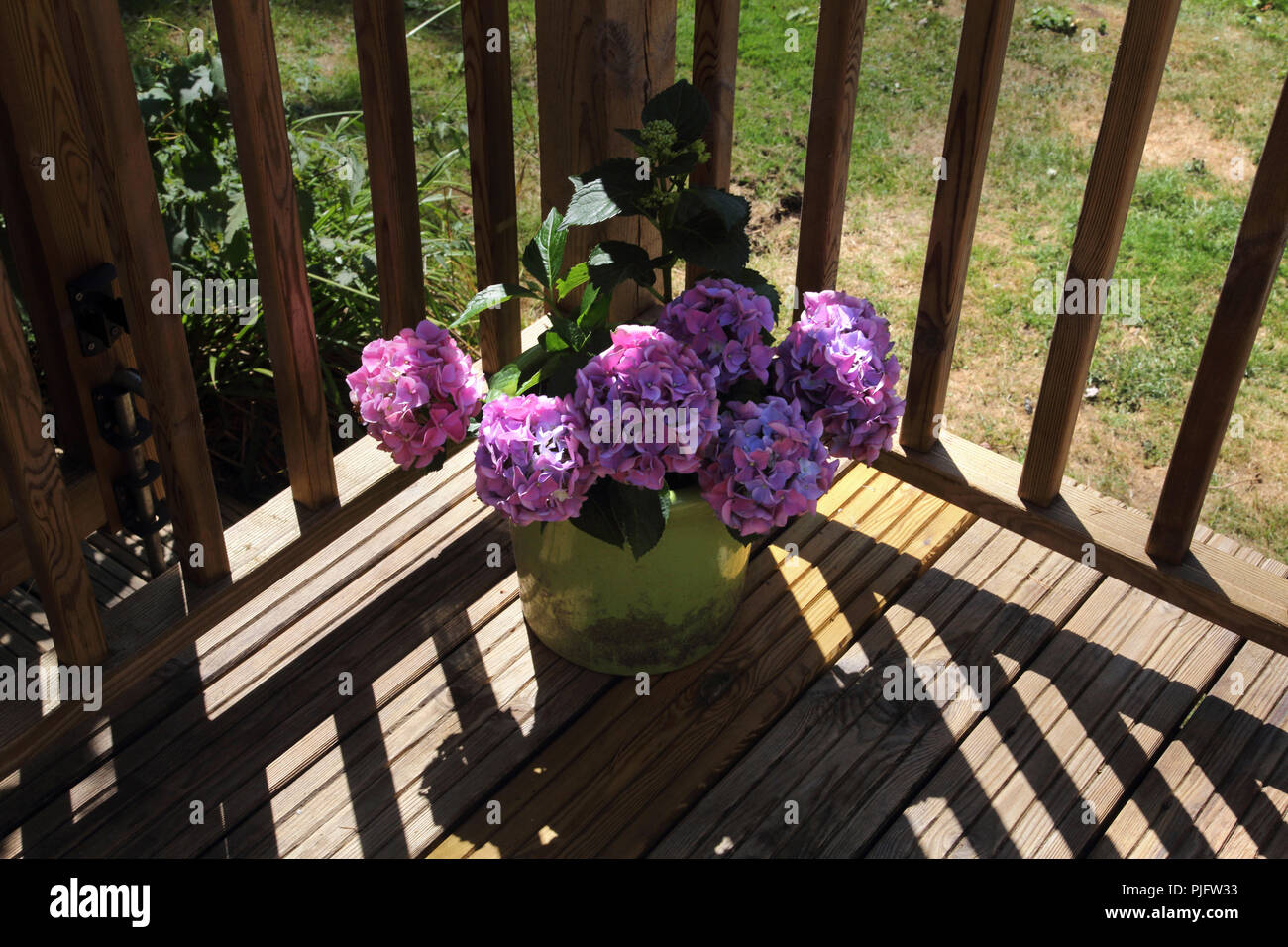 Hydrangeas On Decking in Garden Gillingham Dorset England - Stock Image