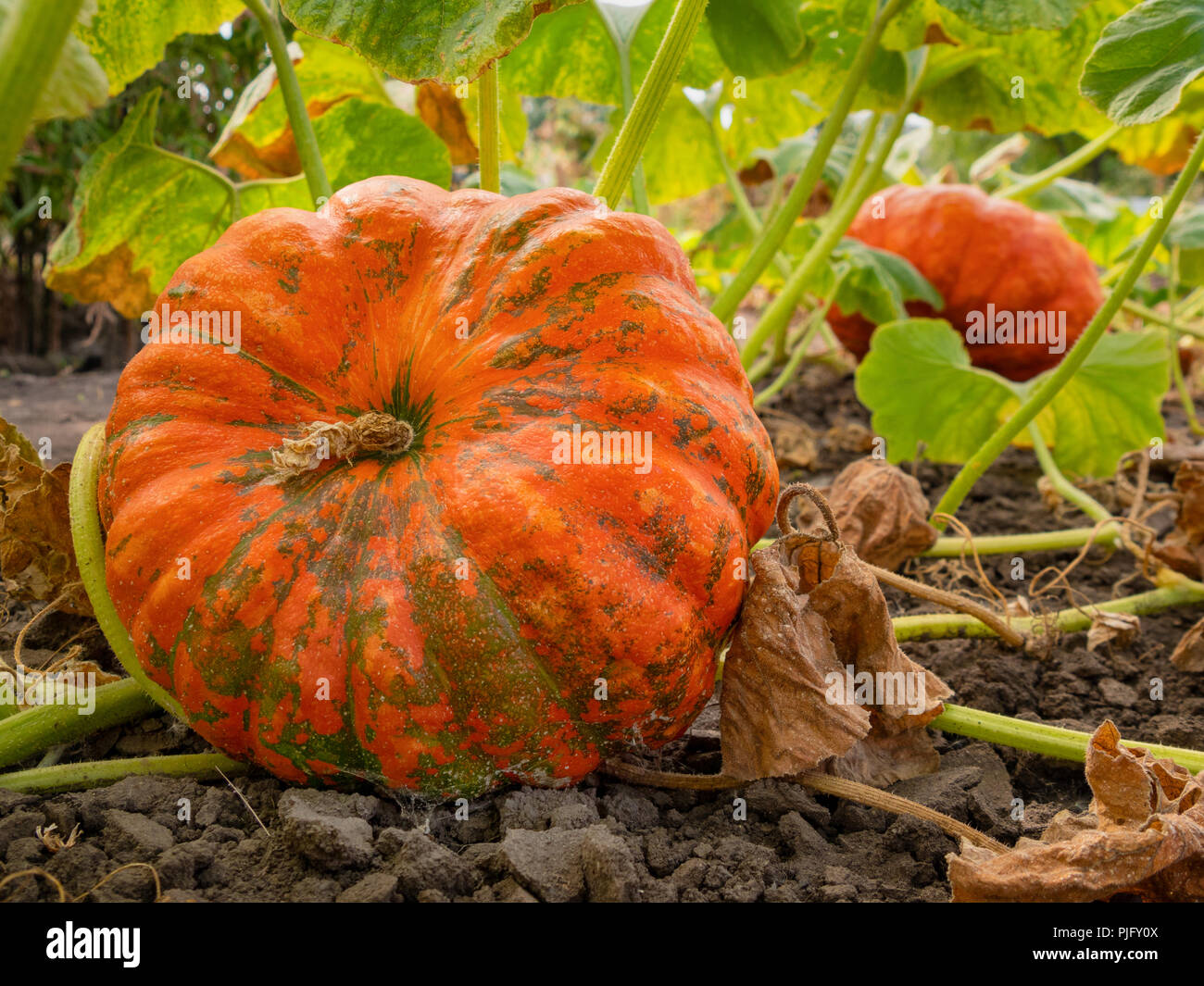 Fresh, ripe, pumpkins growing in field. - Stock Image