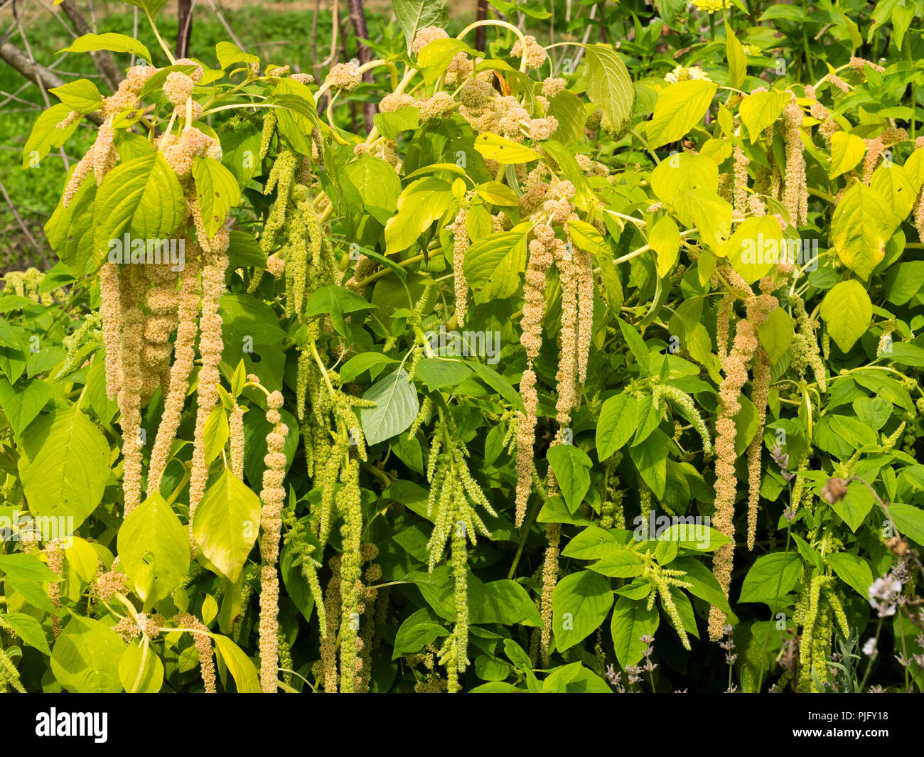 Green fading to yellow flower tassels of Love lies bleeding, a summer bedding annual, Amaranthus caudatus 'Viridis' - Stock Image