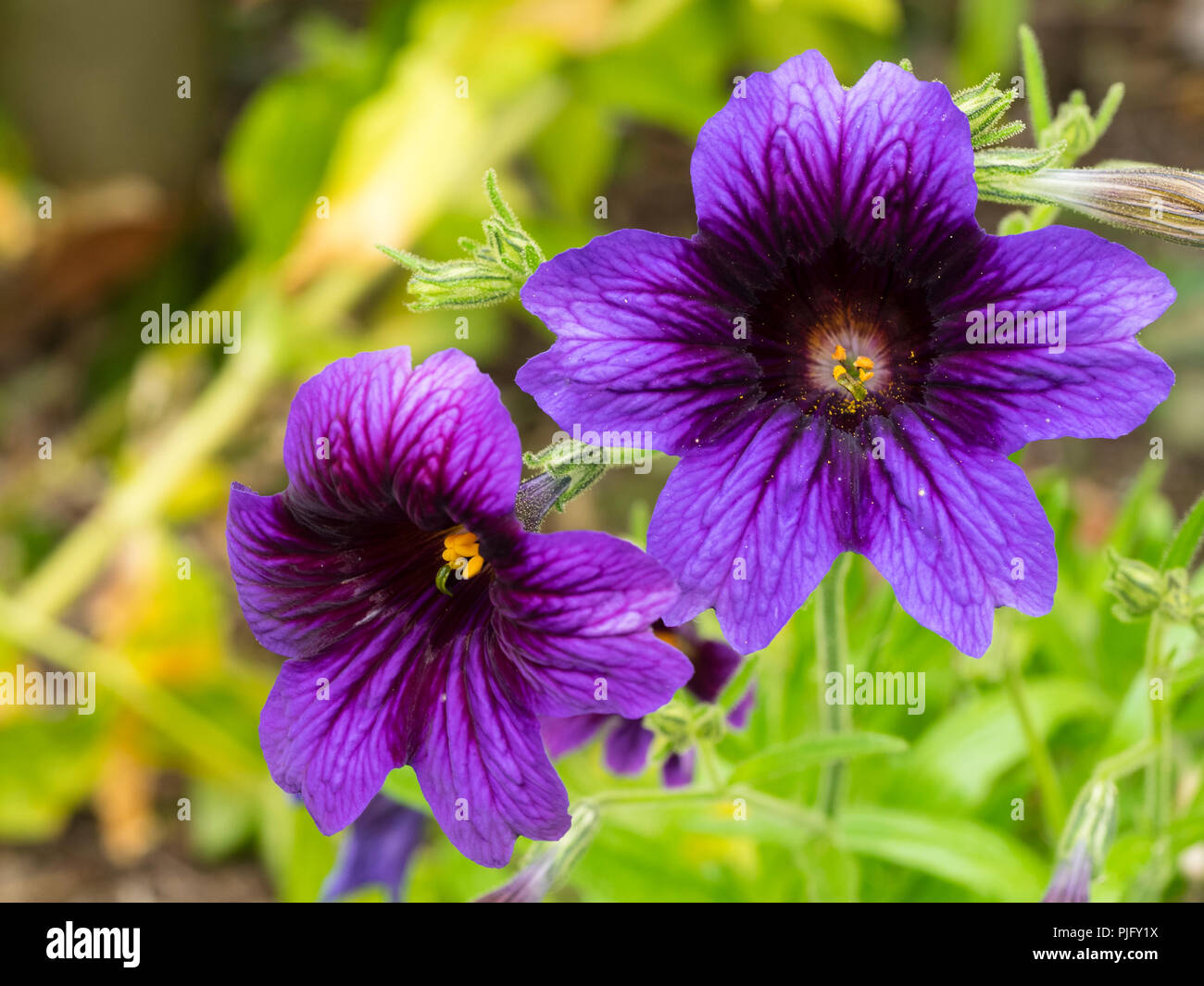 Exotic, velvety, dark throated purple blue flowers of the hardy annual bedding plant, Salpiglossis sinuata 'Kew Blue' - Stock Image