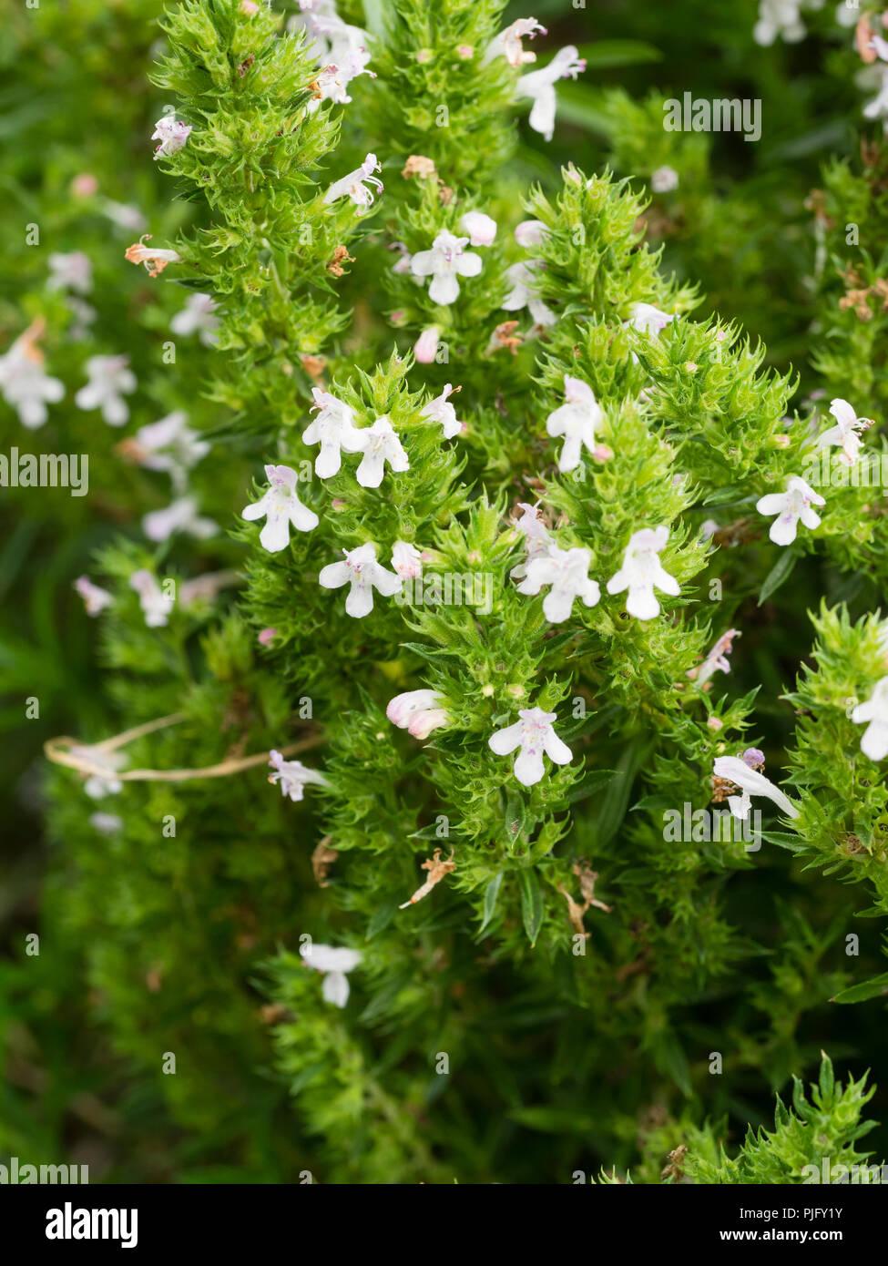 White flowers among the semi evergreen growth of the perennial winter savory herb, Satureja montana Stock Photo