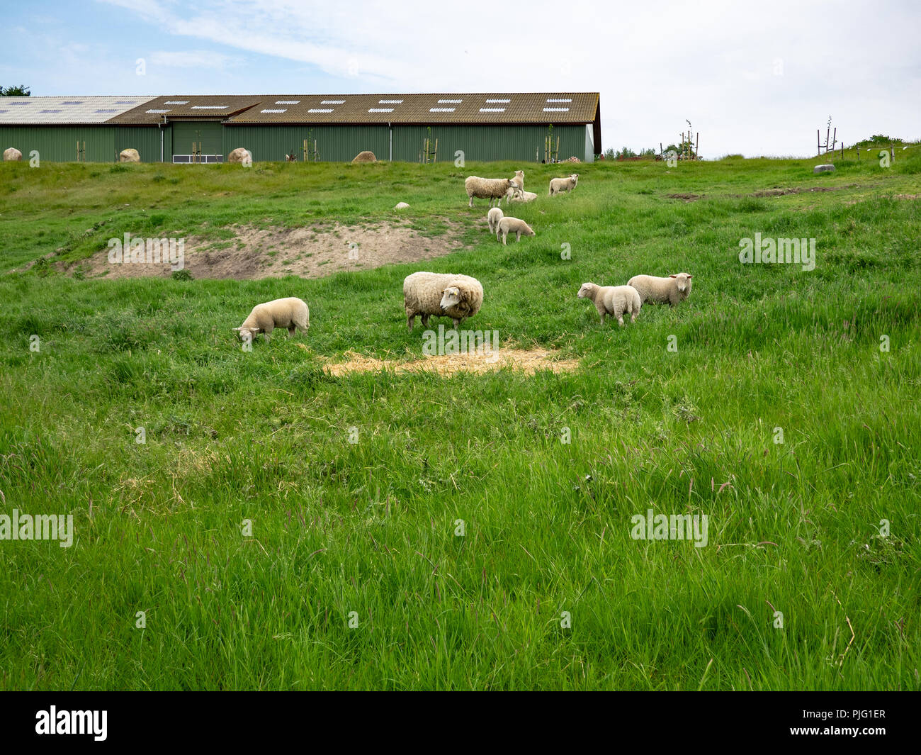 Sheep grazing at a farm in Søby, Ærø Island, Denmark. - Stock Image