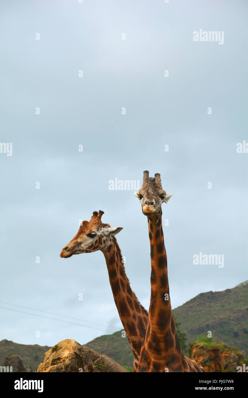 giraffe of two heads - Stock Image
