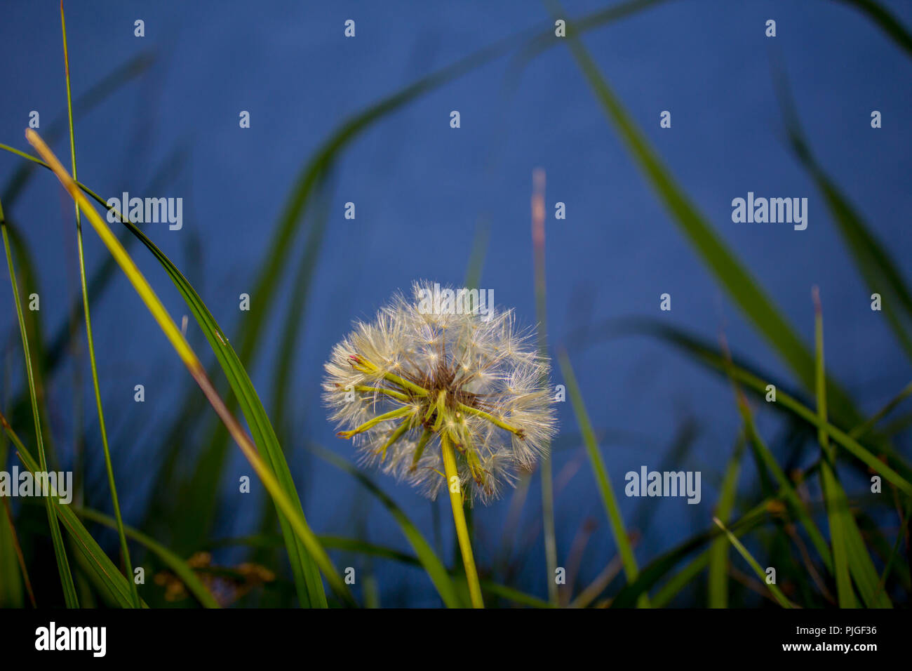 Dandelion Close Up Stock Photo