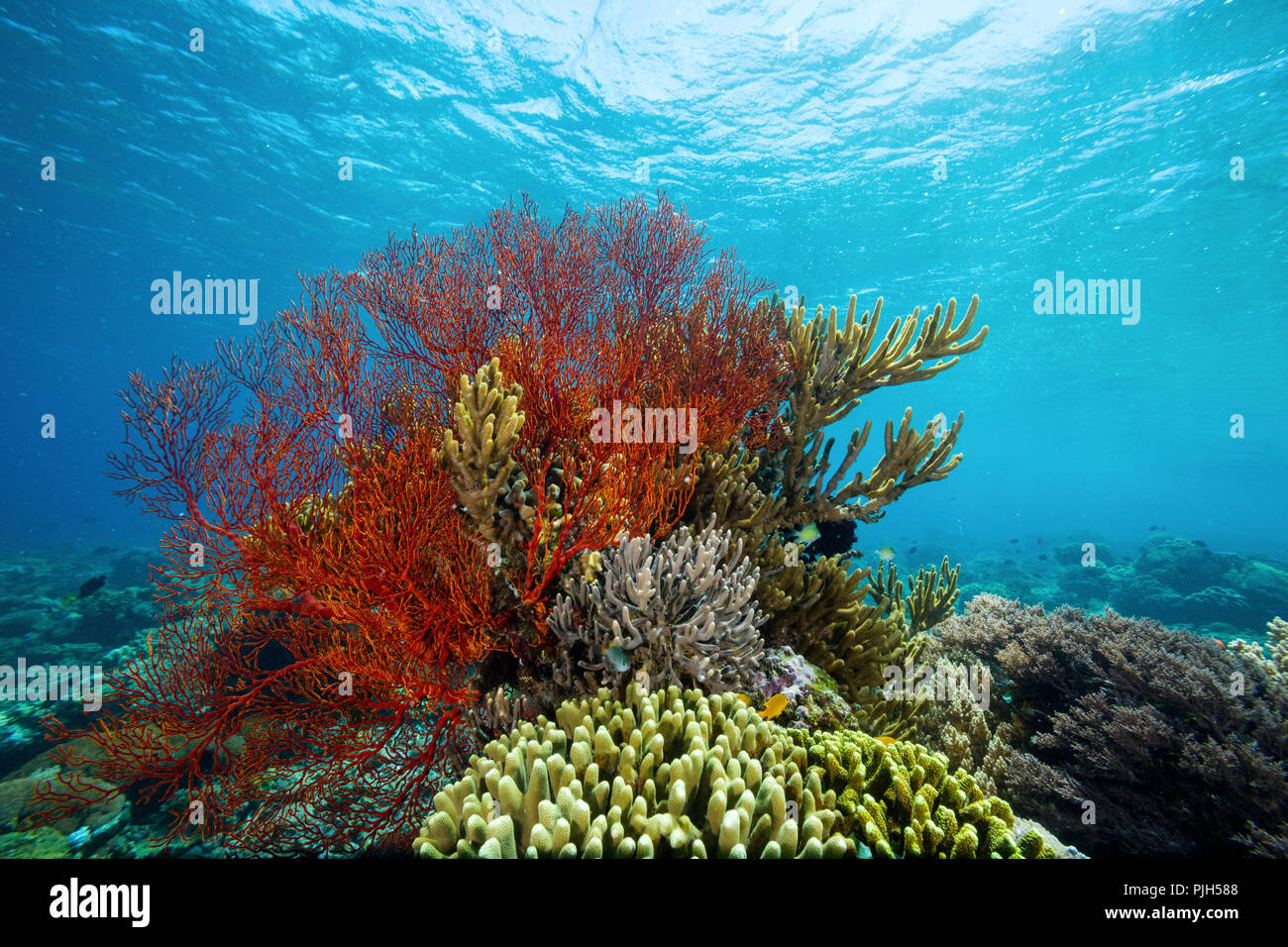 Profusion of hard and soft corals and red sea fan underwater on Mengiatan Island, Komodo National Park, Flores Sea, Indonesia - Stock Image