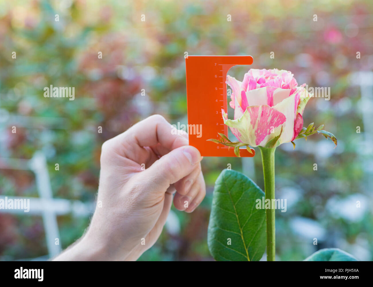 measurement with a ruler of a bud of a rose flower on blurred background - Stock Image