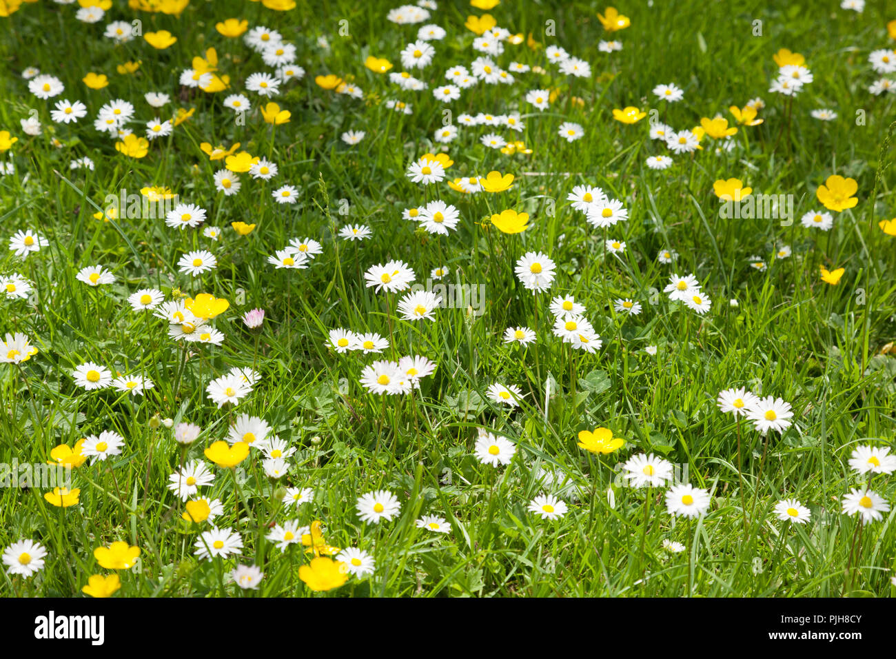 Buttercups and daisies growing in grass. - Stock Image