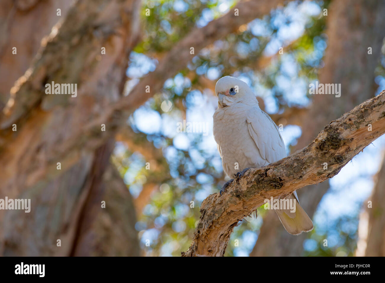 A Little Corella (Cacatua sanguinea) is smaller than its Sulphur Crested Cockatoo cousin and has a blue eye-ring and an adjacent pale pink patch - Stock Image