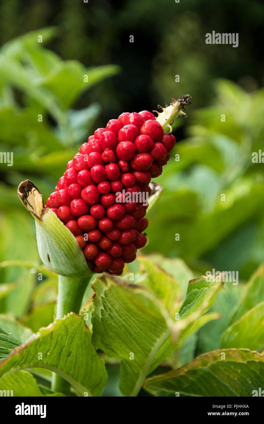 Tortuosum Stock Photos & Tortuosum Stock Images - Alamy