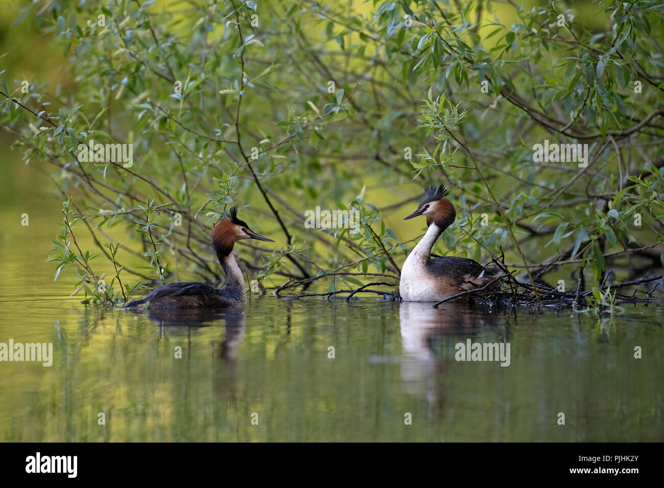 Great Crested Grebes-Podiceps cristatus display courtship. Uk - Stock Image