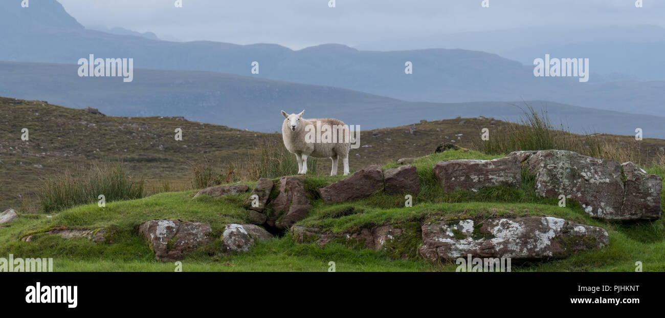 Panorama of lone sheep stands on rocks in the remote countryside of the Scottish Highlands, north of Ullapool, in north west Scotland. - Stock Image