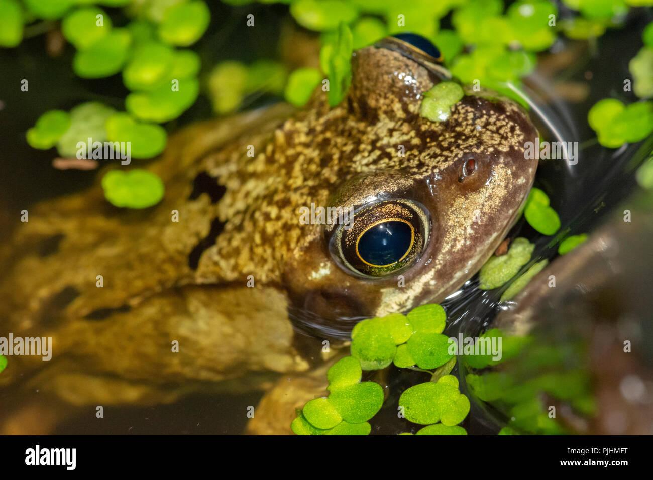 Common Frog,in garden pond, Alsager, Cheshire, UK Stock Photo
