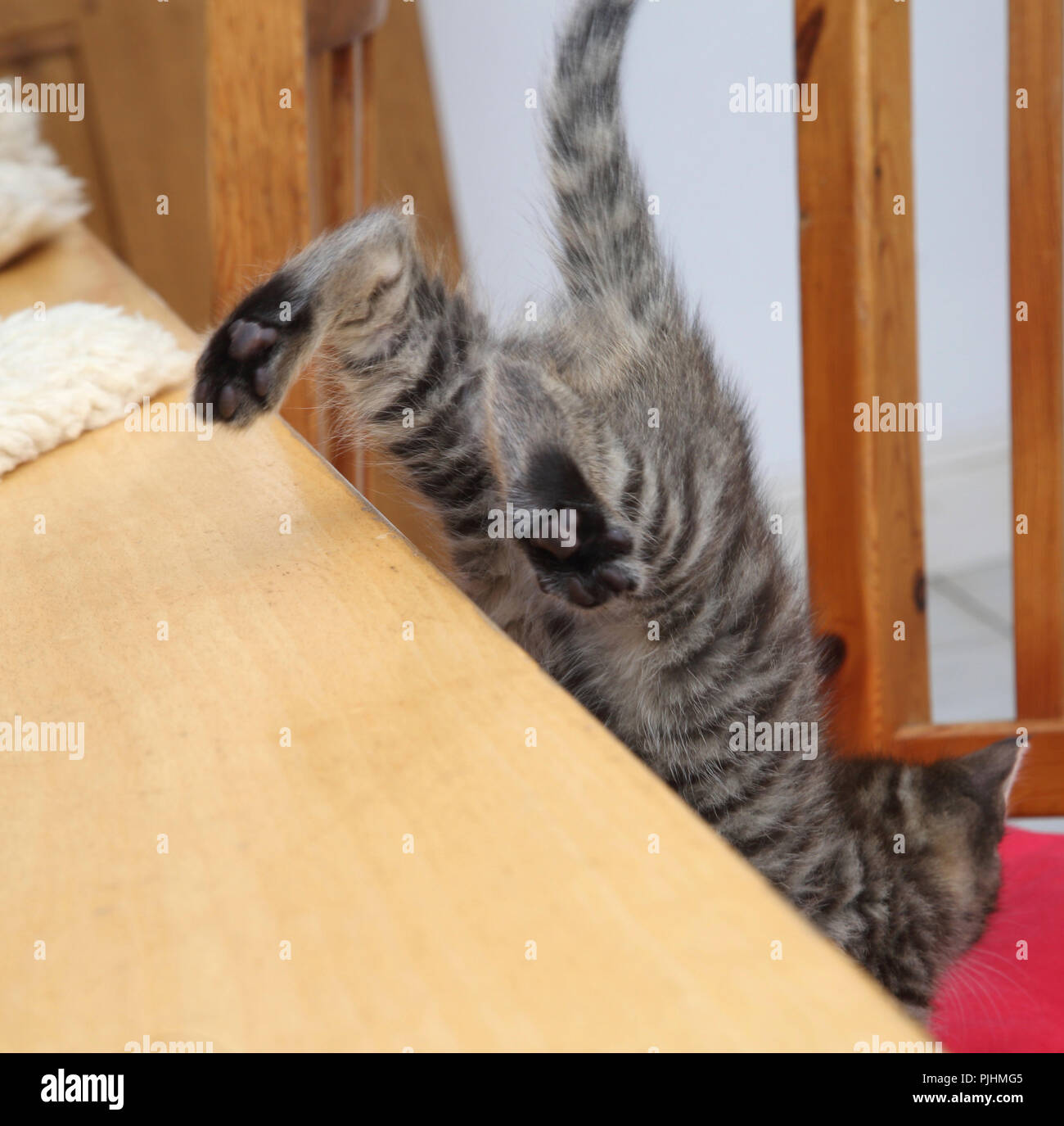 Seven Week Old Male Tabby Kitten Jumping Down from the Table - Stock Image