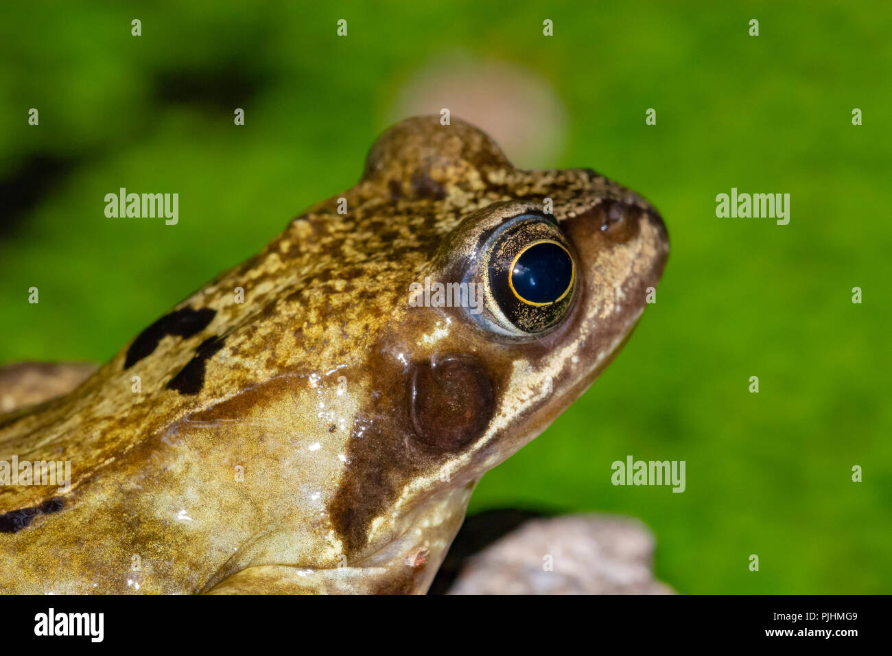 Common Frog,in garden pond, Alsager, Cheshire, UK Stock Photo