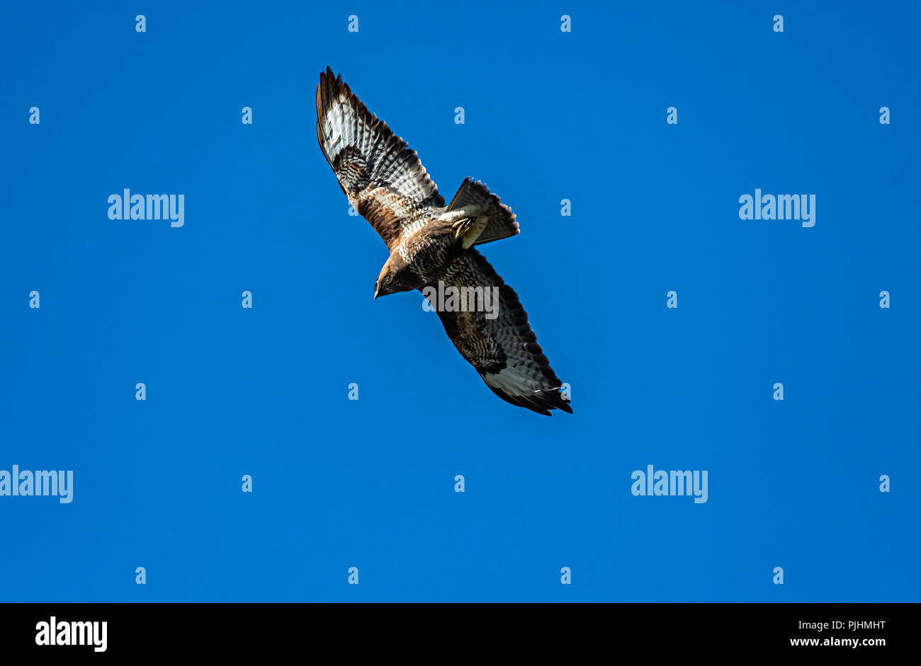Common buzzard, flying overhead, Alsager, Cheshire, UK Stock Photo