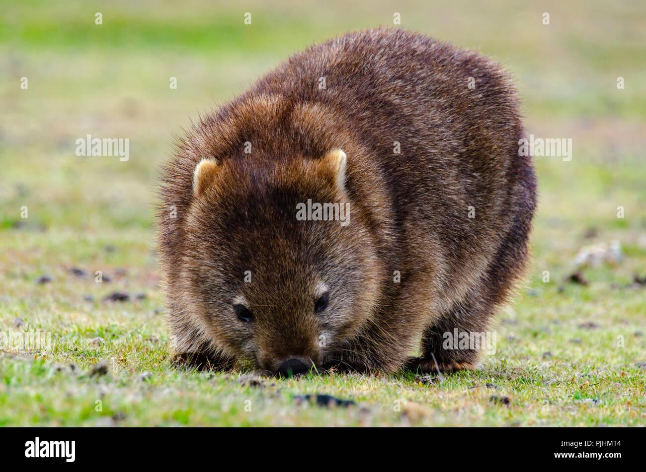 common wombat Vombatus ursinus tasmaniensis, Narawntapu National Park, Tasmania, Australia Stock Photo