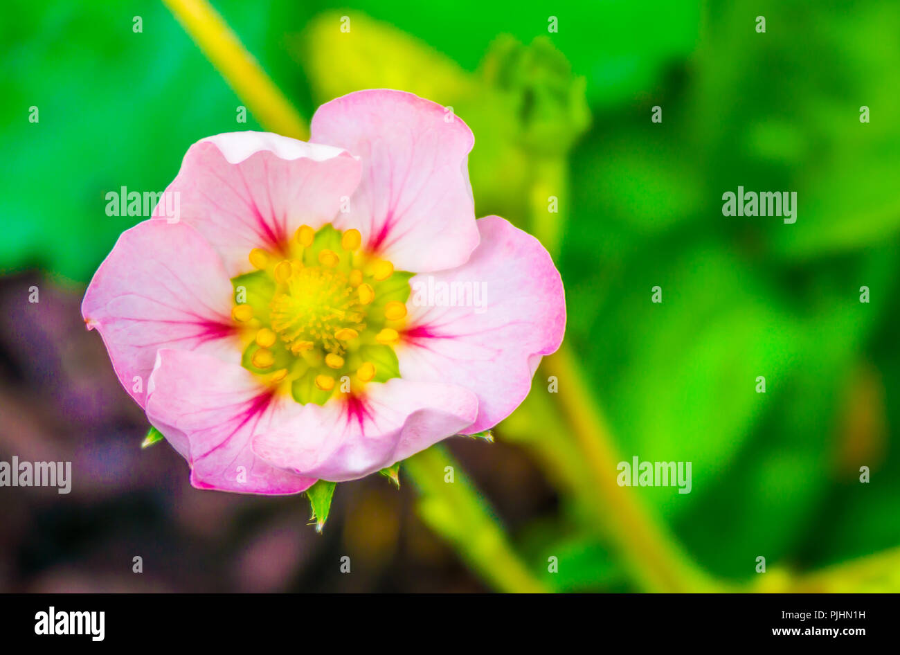 Beautiful Small Tiny Pink Rose Flower Of A Strawberry Plant Macro