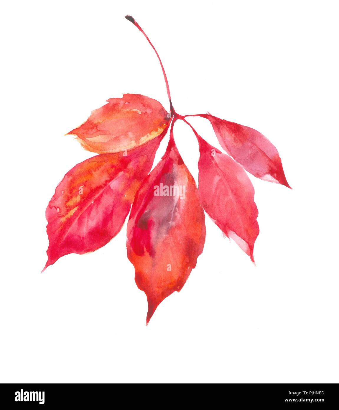 Autumn leaf of acacia. The colors of autumn are in sheets. Watercolor natural background. - Stock Image