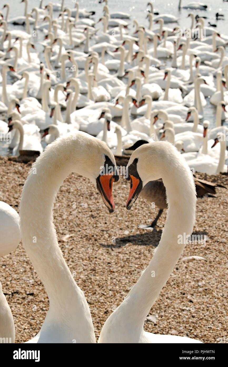 Two swans gazing into each others eyes forming a heart shape as they do so. Stock Photo