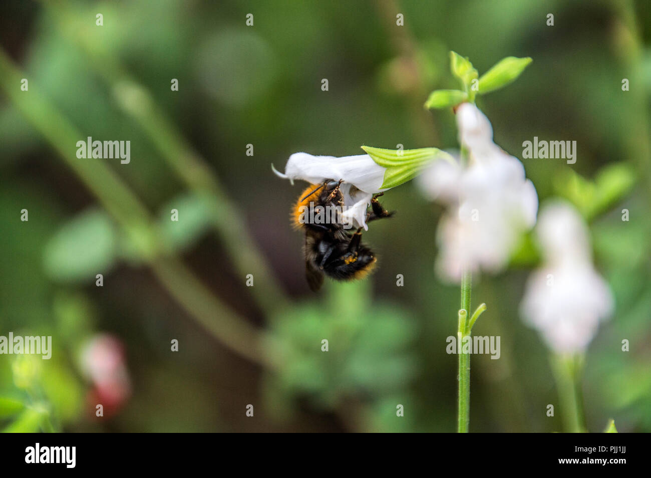 Bumble Bee At A Flower - Stock Image