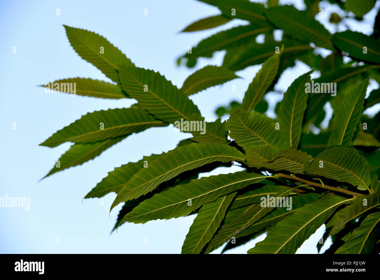 Plant With Jagged Leaves Stock Photos & Plant With Jagged ... on plants with notched leaves, plants with narrow leaves, plants with corrugated leaves, trees with doubly serrate leaves, milkweed plant leaves, plants with clusters of, plants with long spiky leaves, plants with alternate leaves, plants with scalloped leaves, plants with triangle leaves, houseplants identify by leaves, plants with dark green, plants with razor leaves, plants with oblong leaves, large weed with heart shaped leaves, plants with pink heart shaped leaves, plants with leaves simple, plants with toothed leaves, plants with smooth leaves, plants with opposite leaves,