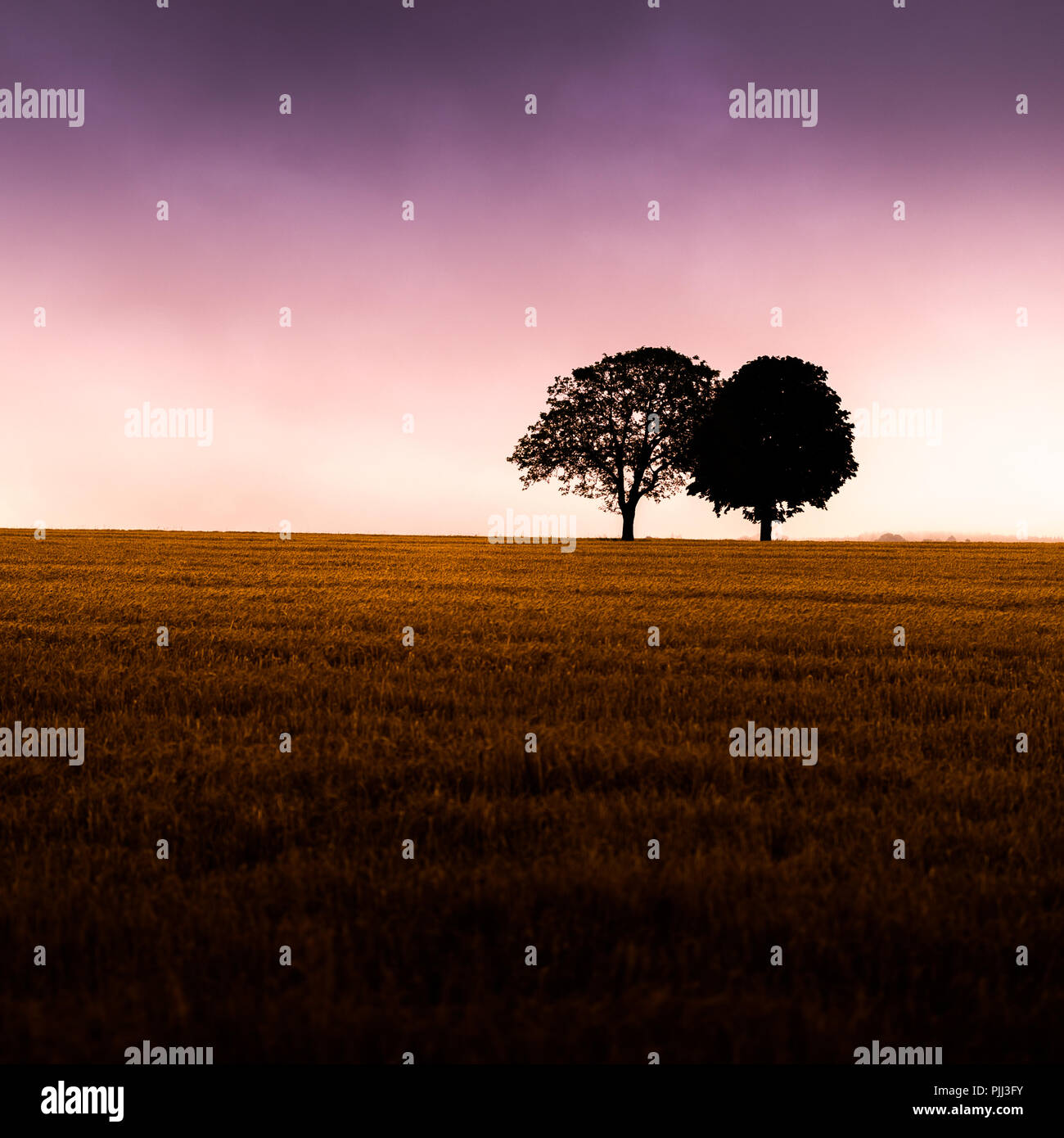 two trees on the horizon of a corn field - Stock Image