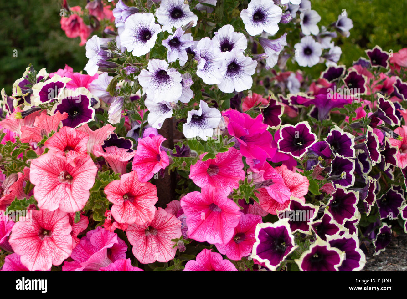 A Cascade Of Colorful Pink Red And Purple Petunia Summer Garden