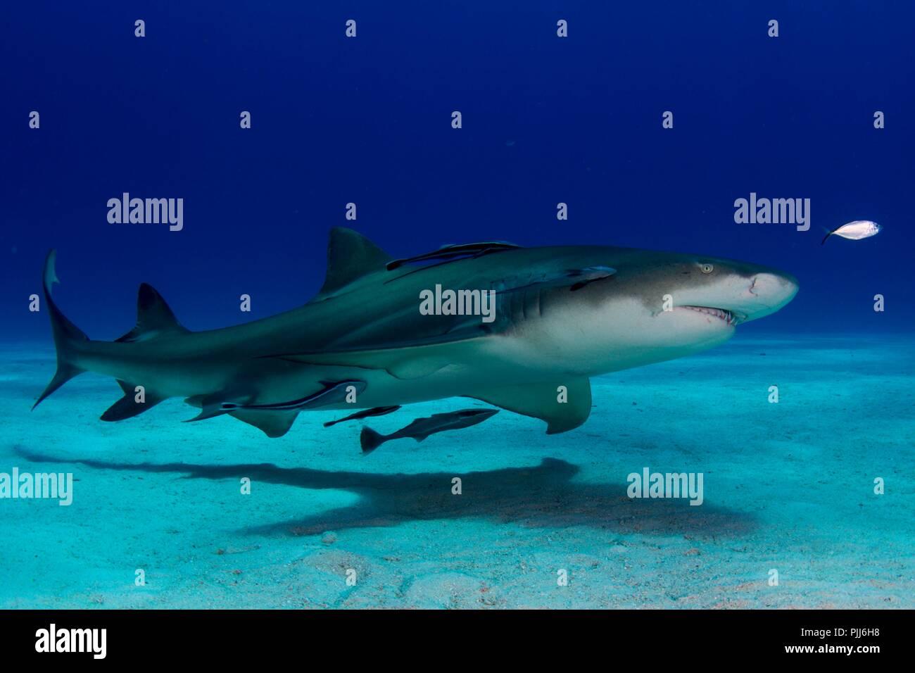 Full body portrait, Lemon Shark, in Shark Paradise, Bahamas - Stock Image