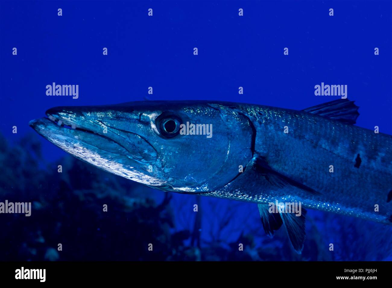 Extreme closeup, Giant Barracuda, Bahamas - Stock Image