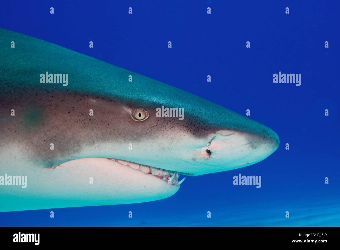 Radical closeup, Lemon Shark, in Shark Paradise, Bahamas - Stock Image