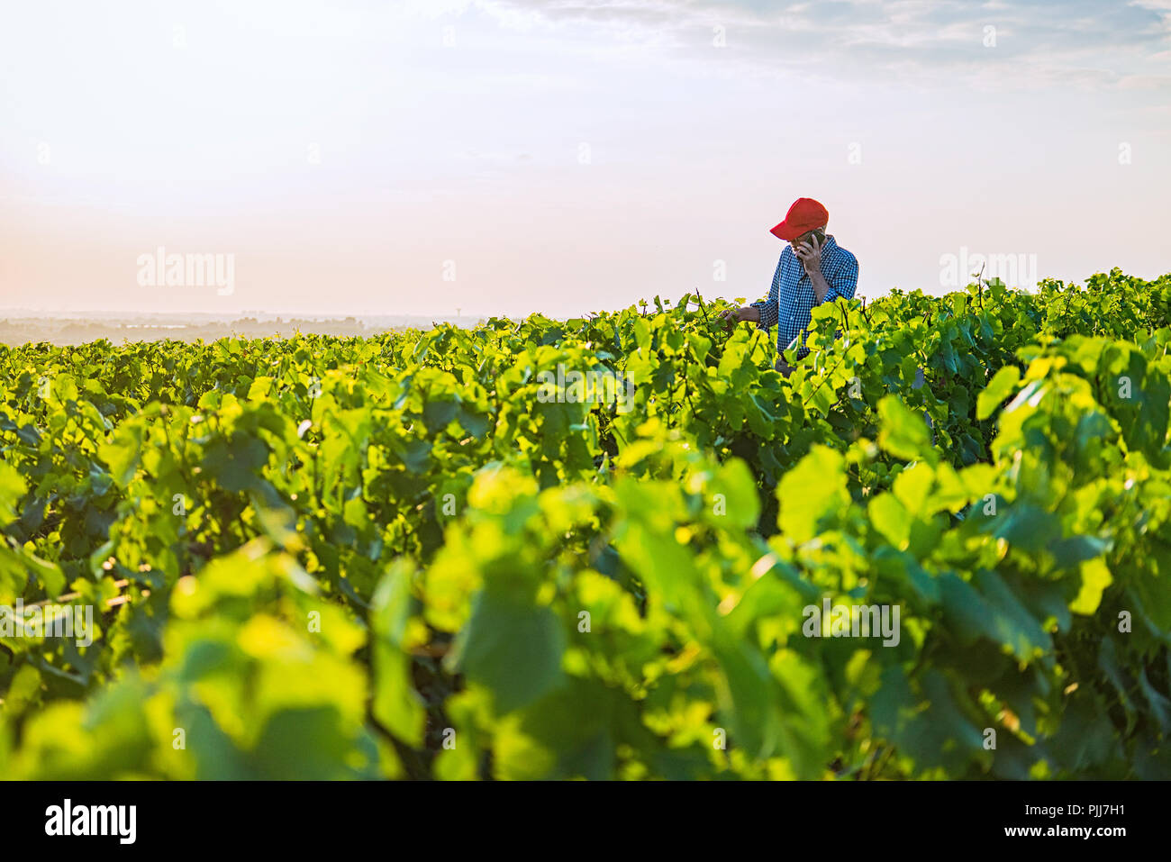 A french winegrower in his vines at sunset - Stock Image