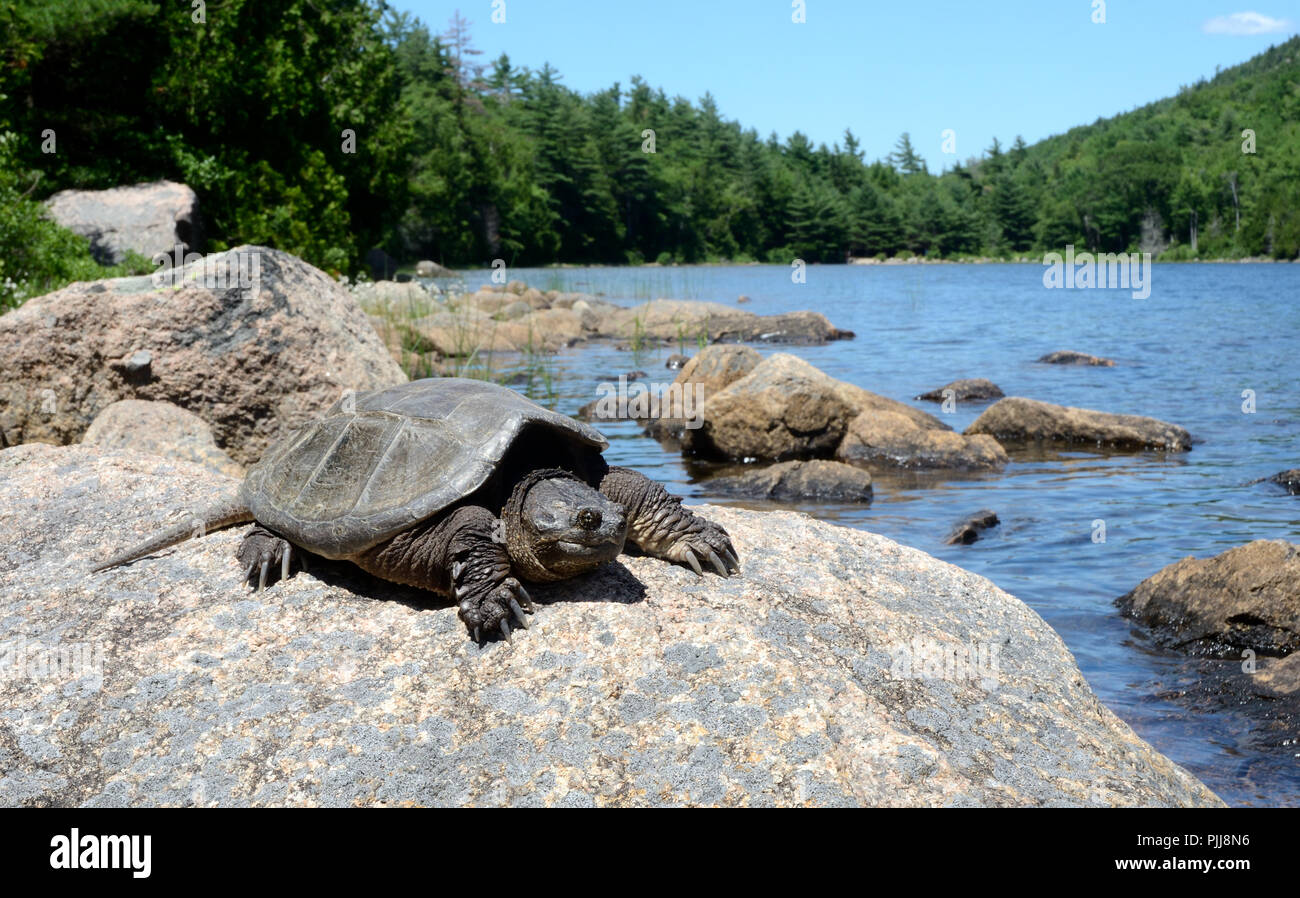 Common snapping turtle. Acadia National Park Maine, USA - Stock Image