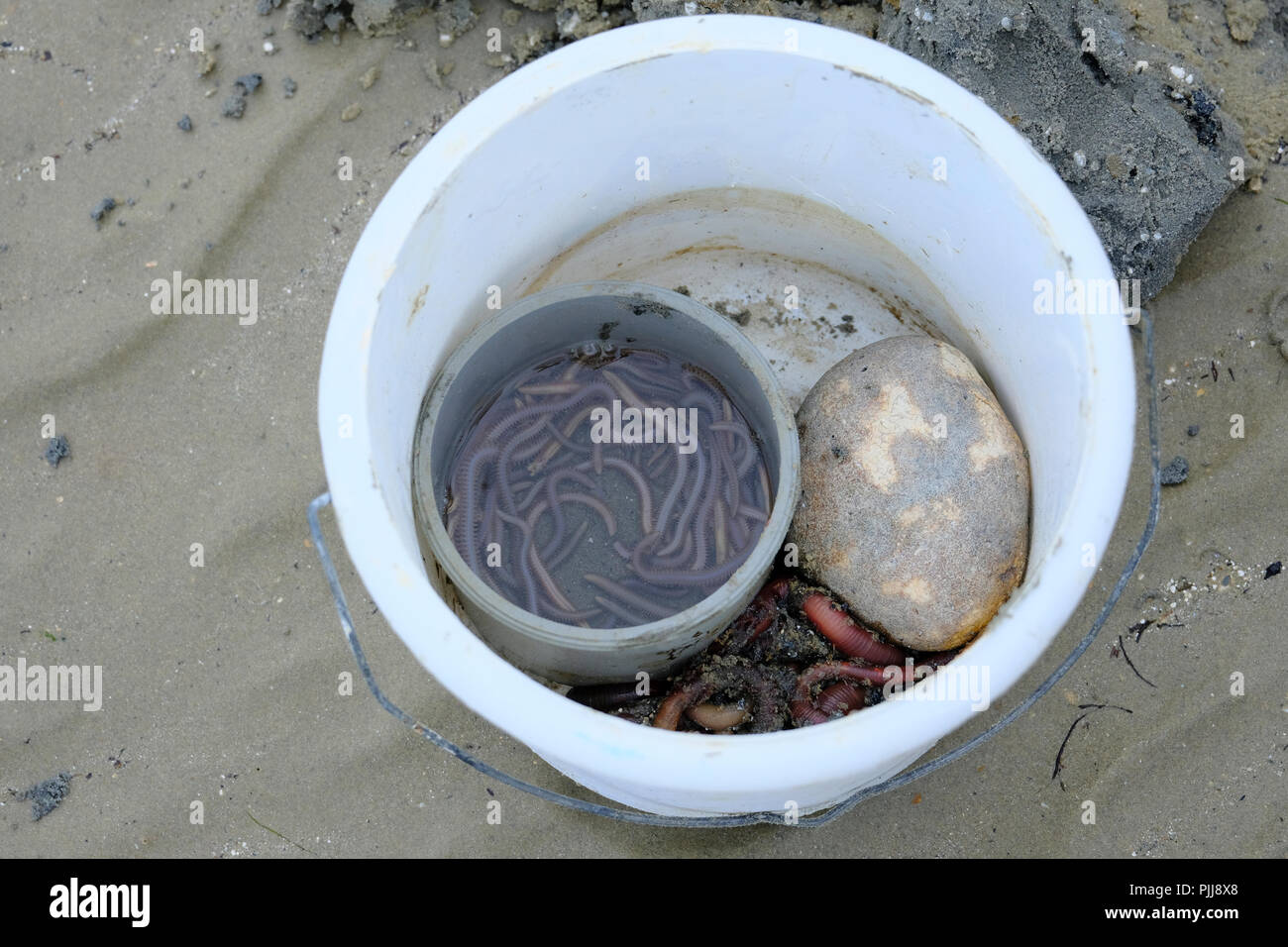 Bucket of freshly dug up Lugworms. The stone is to keep the bucket stable in the face of strong sea breeze - Stock Image