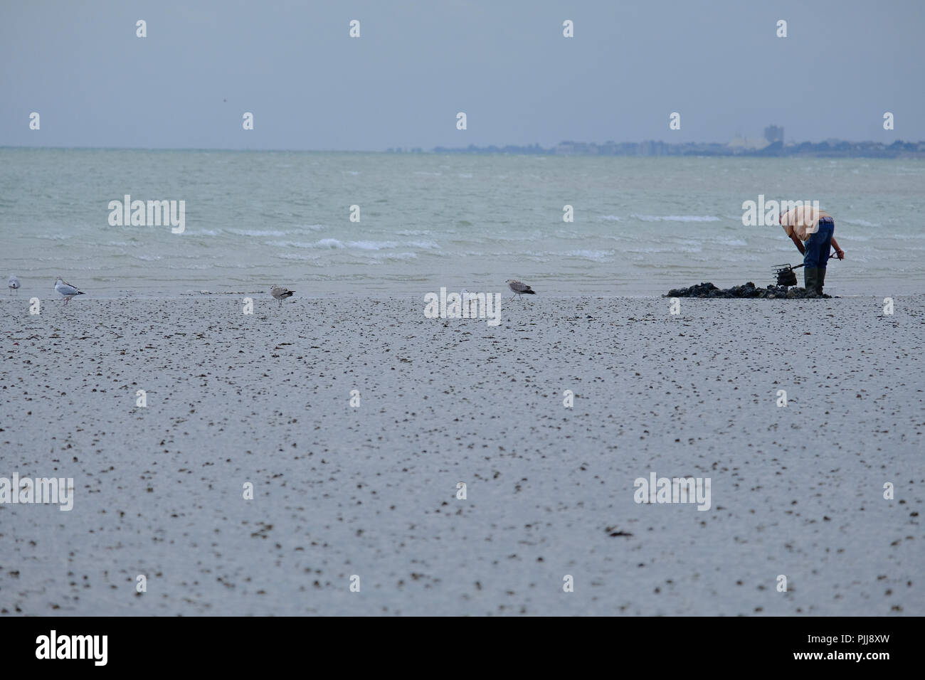 Elderly man digging for Lugworms in the sand at low tide on UK beach. Seagulls alongside waiting for scraps. - Stock Image