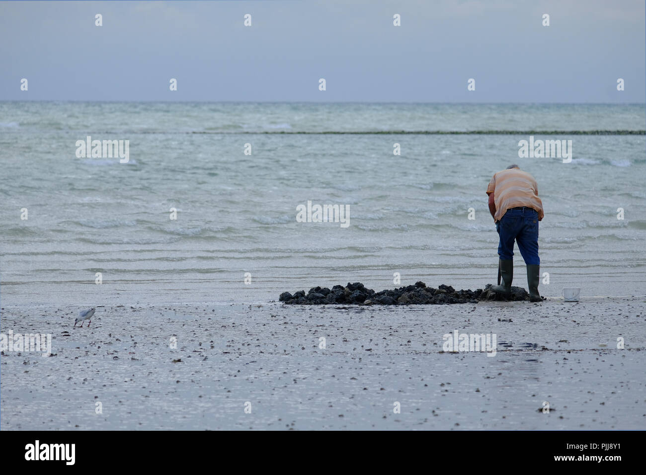 Elderly man digging for Lugworms in the sand at low tide on UK beach - Stock Image