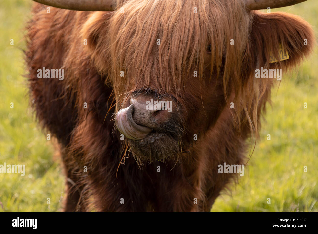 Scottish long coat Highland cattle in Fort William near Ben Nevis, Scotland, UK Stock Photo