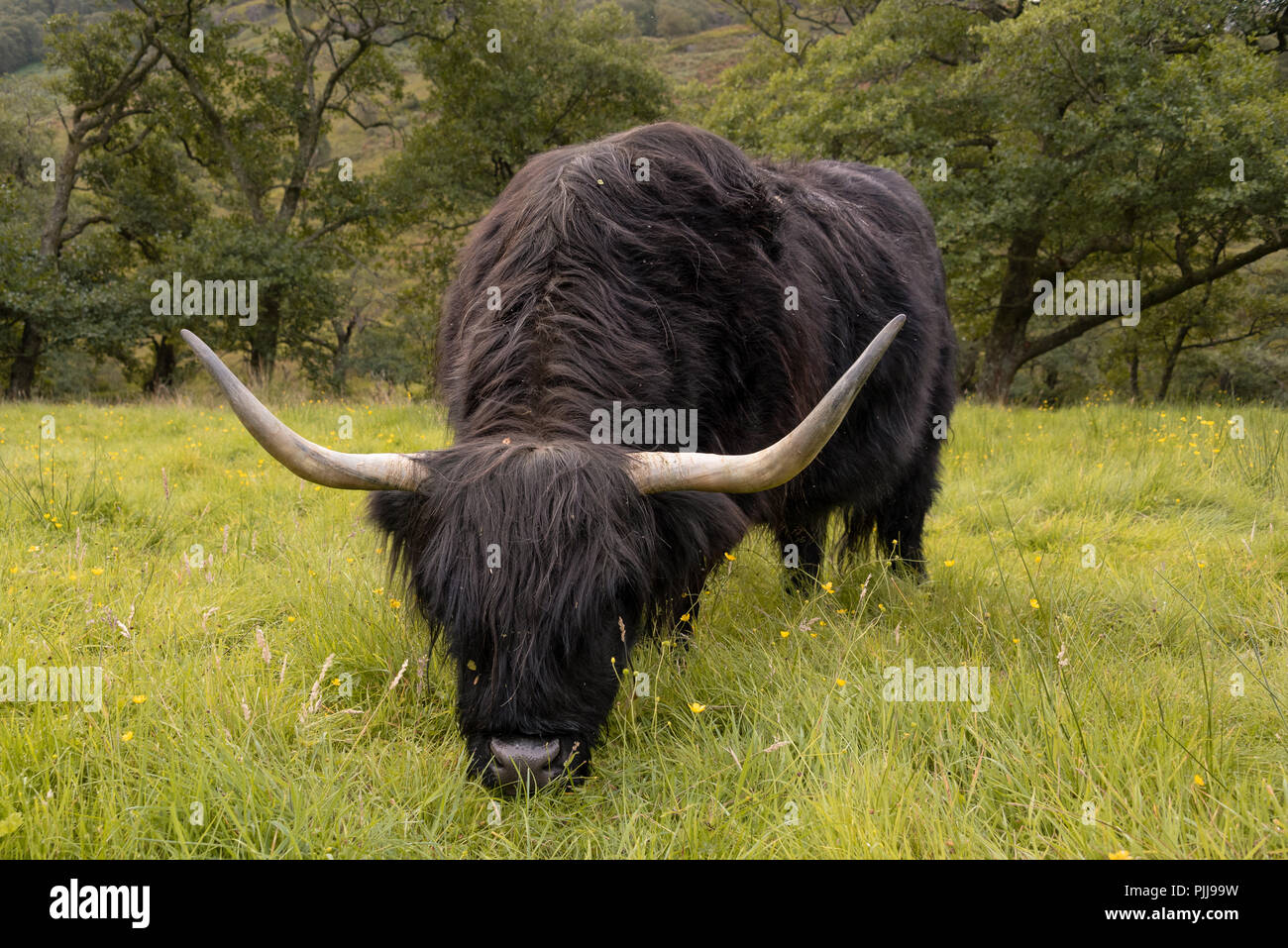 Scottish long coat Highland cattle in Fort William near Ben Nevis, Scotland, UK Stock Photo