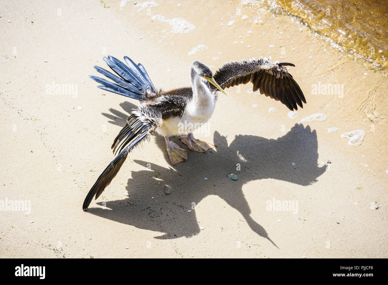 Australasian darter water bird drying its wings in the sun on the banks of the Swan River, Perth, Western Australia - Stock Image