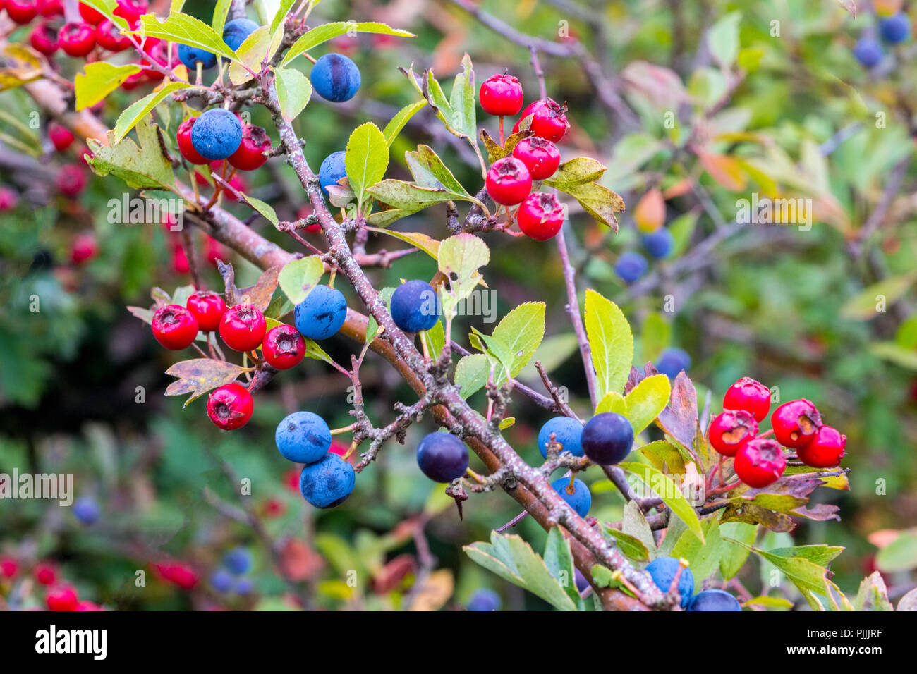 Hawthorn and Blackthorn   berries   in the hedgerows of the Peak District - Stock Image