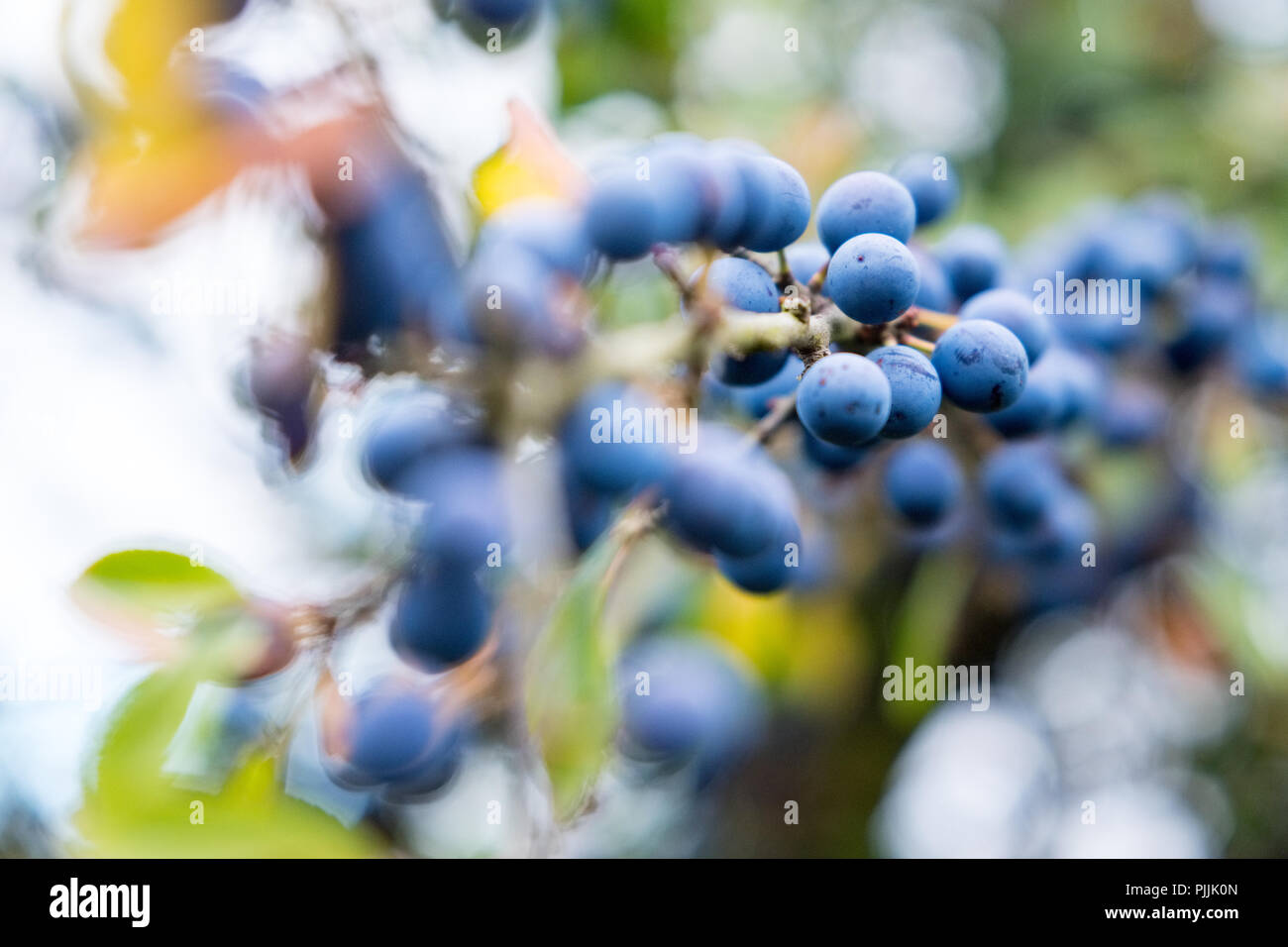 Blackthorn  berries   in the hedgerows of the Peak District - Stock Image