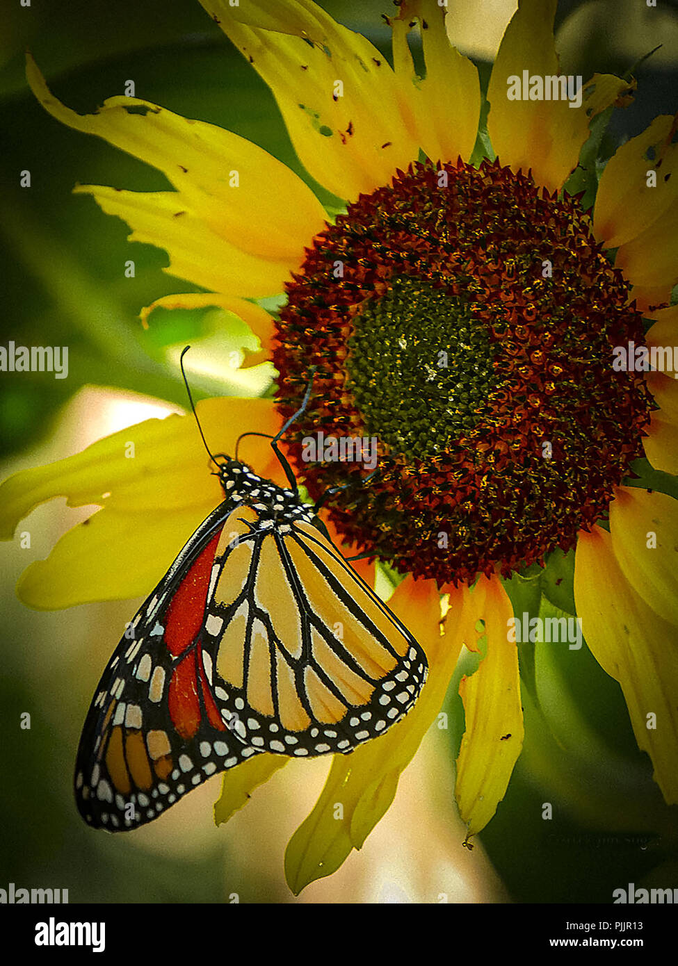 New York City Monarch butterfly enjoying lunch in Riverside Park with a fading sunflower on a beautiful fall day. 22nd Oct, 2017. Lumix GX-85   14-140mm lens. @the PhotoSociety #natgeocreative Credit: Jim Sugar/ZUMA Wire/Alamy Live News - Stock Image