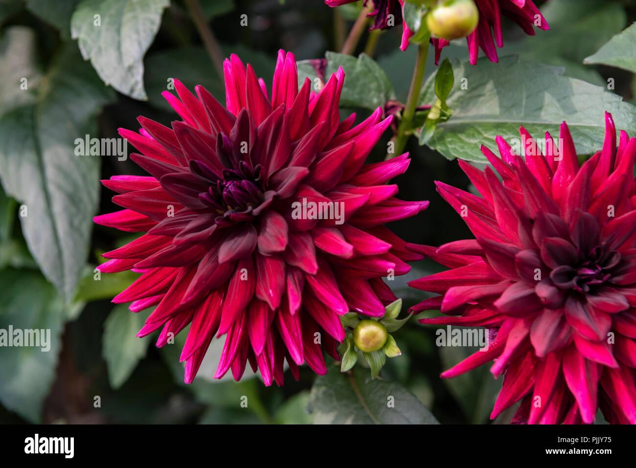 Crimson dahlia flower stock photos crimson dahlia flower stock dahlia kennedy semi cactus burgundy magenta flower stock image izmirmasajfo