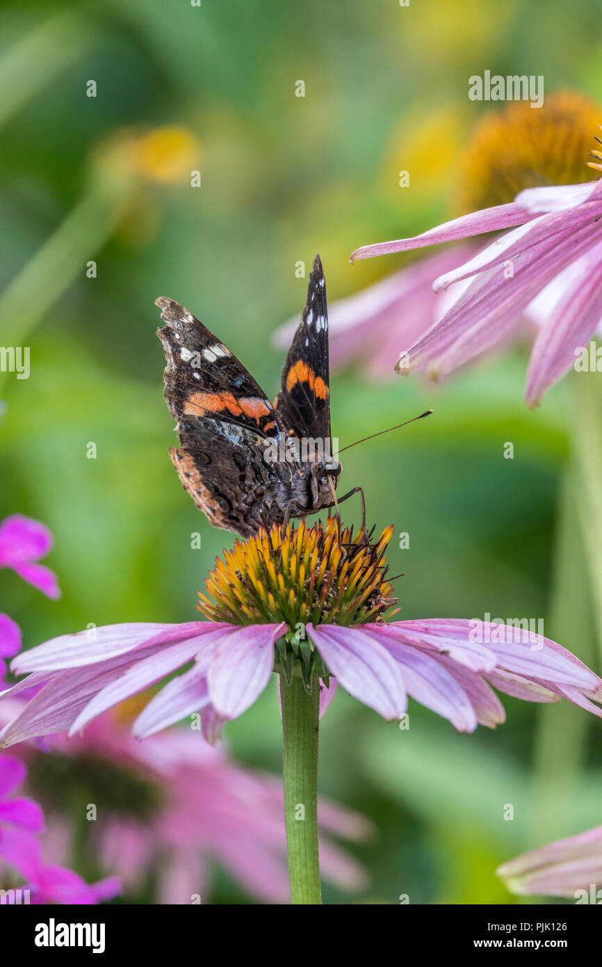 Vanessa atalanta, the red admiral or previously, the red admirable,, medium-sized butterfly - Stock Image