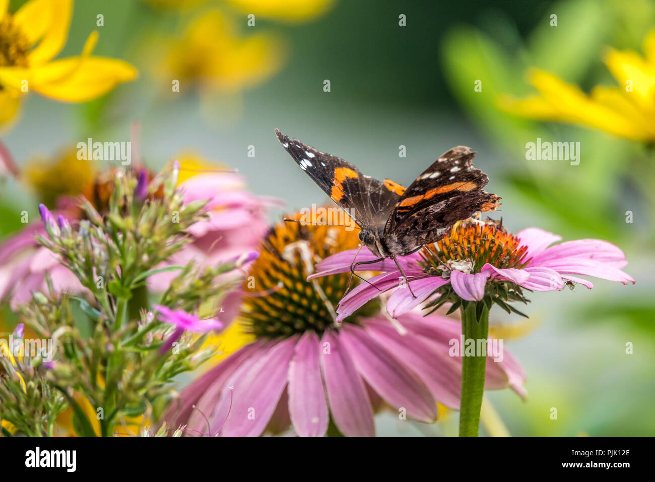 Vanessa atalanta, the red admiral or previously, the red admirable,, medium-sized butterfly Stock Photo
