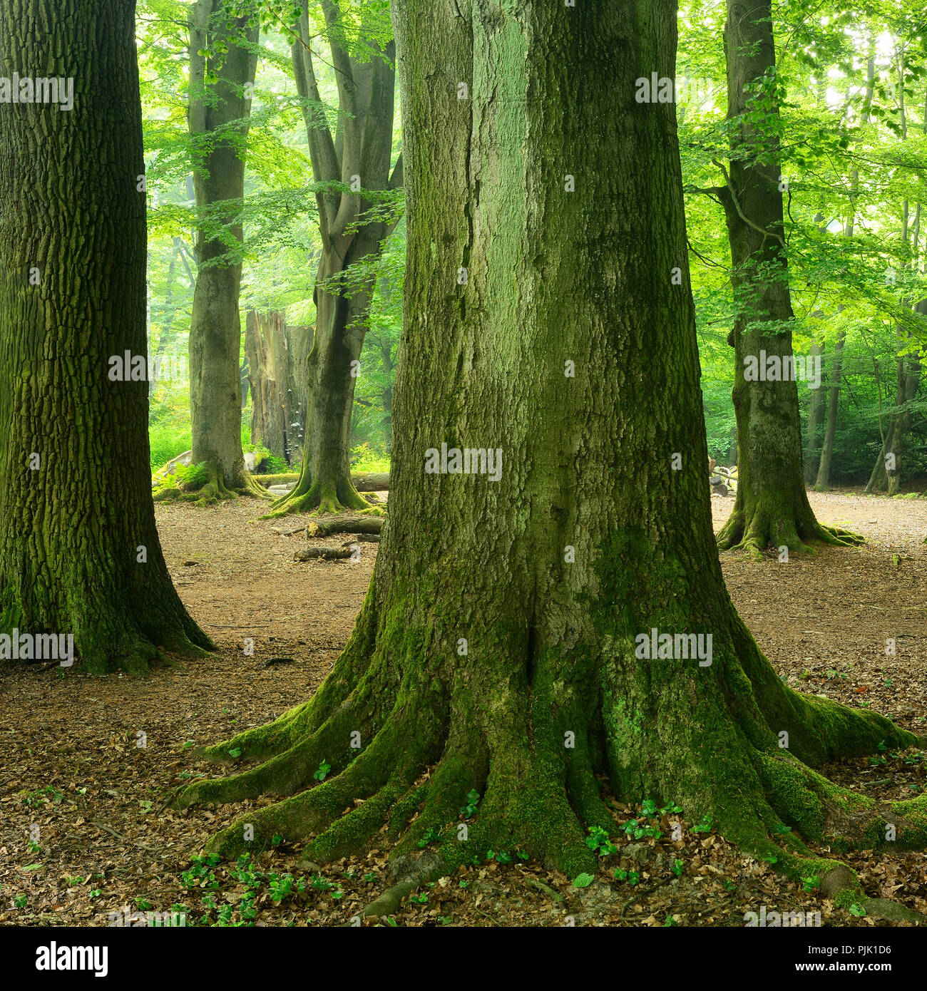 giant trees, mighty old beech trees and oak trees in a former wood pasture, Sababurg, Reinhardswald, North Hesse, Hesse, Germany - Stock Image