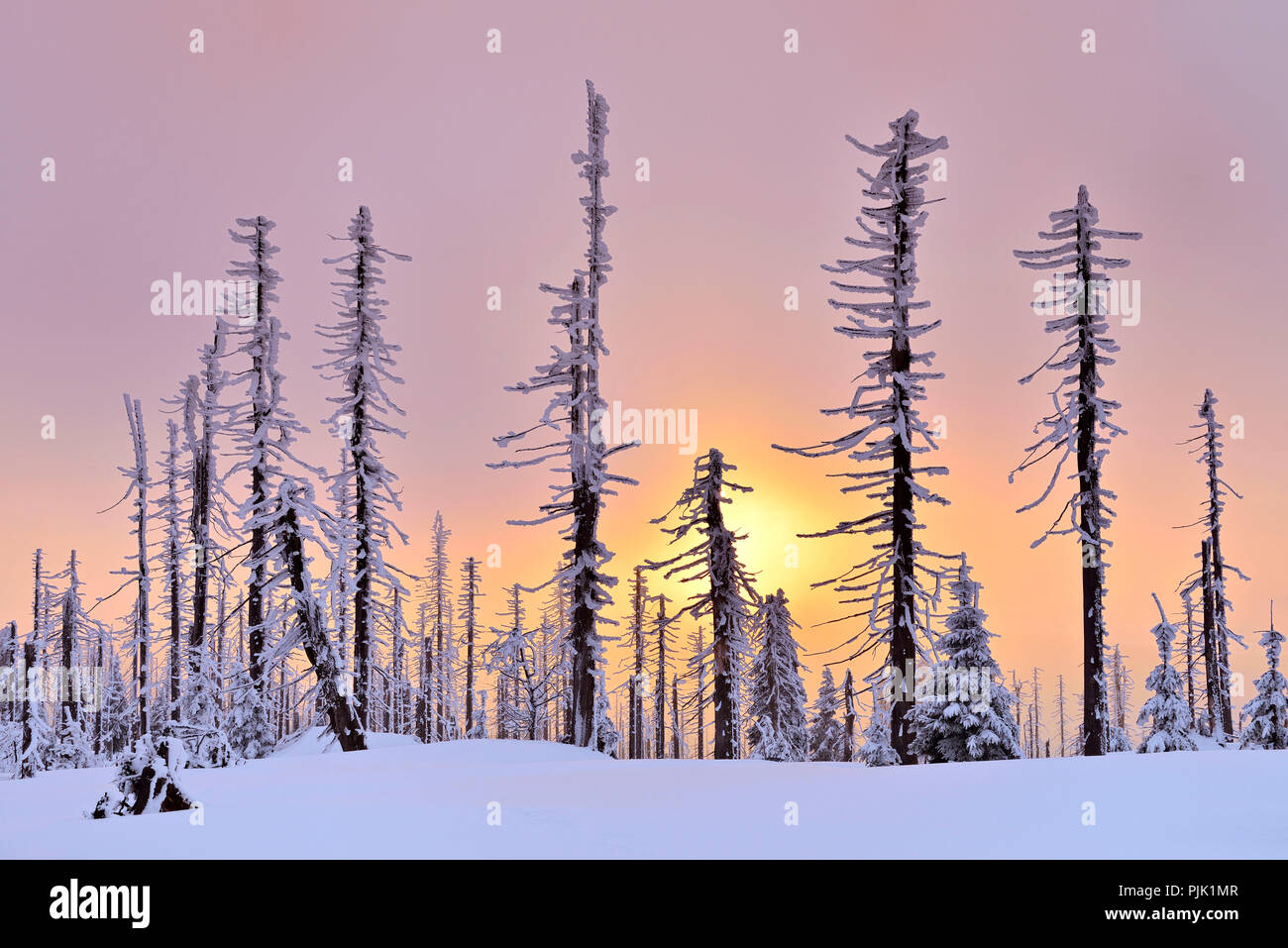 Sunset on the mountain Great Rachel in winter, spruce covered with snow and dead by bark beetle infestation, Bavarian Forest nature park, Bavaria, Germany - Stock Image