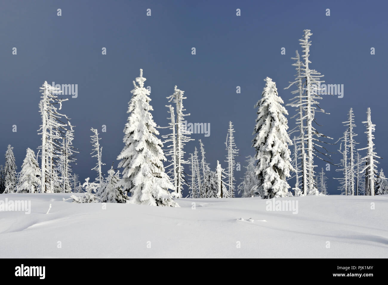snow covered winter landscape on the mountain. Großer Rachel in winter, spruce covered with snow and destroyed by bark beetle infestation, Bavarian Forest nature park, Bavaria, Germany - Stock Image