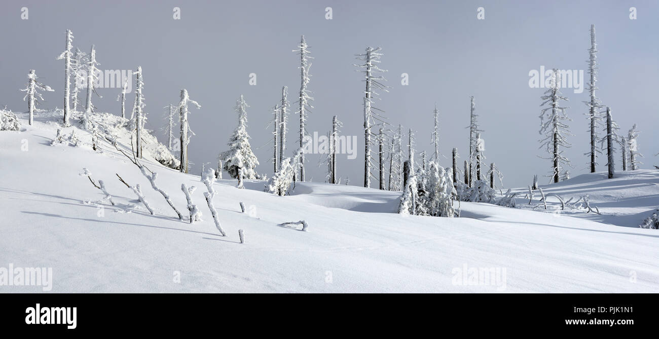 snow covered winter landscape on the mountain Großer Rachel in winter, spruce covered with snow and destroyed through bark beetle infestation, Bavarian Forest nature park, Bavaria, Germany - Stock Image